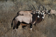 Oryx / Gemsbok - Kgalagadi Transfrontier Park - September 2017 (Massai_1) Tags: transfrontier park kalahari kgalagadi oryx gemsbok