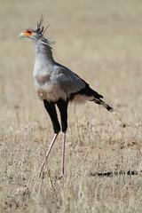 Sekretär / Secretary Bird - Kgalagadi Transfrontier Park - September 2017 (Massai_1) Tags: kgalagadi transfrontier park kalahari sekretär secretary bird