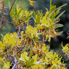 Yellow Rhododendron (Bephep2010) Tags: 2019 7markiii alpha blume carona frühling ilce7m3 lugano parcosangrato rahmen sel24105g schweiz sony switzerland tessin ticino flower gelb spring yellow ⍺7iii kantontessin