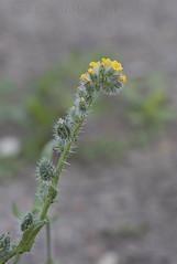Menzies' Fiddleneck (Amsinckia micrantha) (macronyx) Tags: nature blommor växter växt flower flowers plants plant gullört fiddleneck menziesfiddleneck amsinckia amsinckiamicrantha