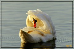 2019-06-02_09-10-02 (tingel79) Tags: schwan swan animal water wasser see sea sunset sunshine sun goldenhour goldenestunde outdoor sony sonne tiere world germany natur nature birds seabirds