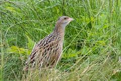 corncrake (ianbollen) Tags: scotland tiree bird crake corncrake grek