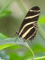 Heliconius charitonius (lau_n2014) Tags: heliconius charitonius papillon butterfly