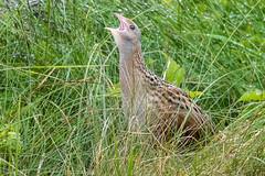 corncrake (ianbollen) Tags: bird crake corncrake scotland tiree