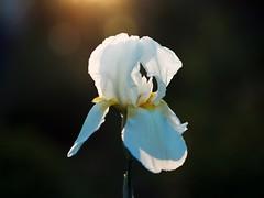 P6012187 (Vladimir V. Samoylov) Tags: e5markii flowers mzuiko75mmf18 m43 micro43 microfourthirdsmicro43 olympus olympusm75mmf18 omd μ43