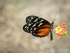 Heliconius hecale (lau_n2014) Tags: papillon butterfly heliconius hecale