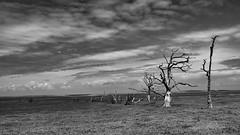 Disastrous Times (amber654) Tags: england somerset porlock porlockmarsh marsh marshland coast tree trees coastline song songlyric words frightenedrabbit oilslick nikon nikond5500 18140 bare minimalist sky clouds mono monochrome blackandwhite bw