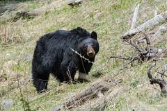 Bright eyes (ChicagoBob46) Tags: blackbear bear sow yellowstone yellowstonenationalpark nature wildlife coth5 naturethroughthelens ngc npc