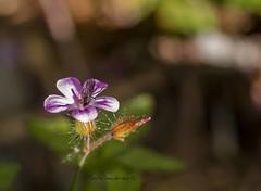 Flor e insecto (tonygimenez) Tags: flor insecto color hojas petalor nectar polinización ordesa campo naturaleza macro desenfoque olympus