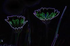 2 daisies (conall..) Tags: daisy nikon afs nikkor f18g lens 50mm prime primelens nikonafsnikkorf18g closeup raynox dcr250 macro county down tullynacree nw551041 annacloy field northernireland bellis perennis bellisperennis common asteraceae flower flowerhead composite commondaisy