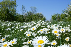 Westkapelle (Omroep Zeeland) Tags: westkapelle vuurtoren walcheren zeeland lente margrieten vlinder gemeenteveere