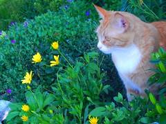 Finn-Li Enjoying the Flower Garden (starmist1) Tags: cat female orangeandwhite finnli garden flowergarden maggiesgarden rockgarden frontyard june spring hot clear