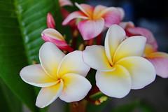 "Plumeria ""Divine"" (Steenjep) Tags: blomst flower macro makro closeup plumeria divine"