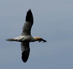 Bringer of gifts (gordontour) Tags: wildlife ailsacraig clyde coast sea scotland britain uk nature birds rspbreserve island gannet