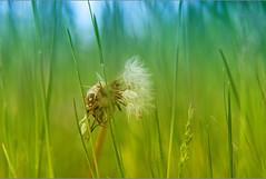 Dandelion (vonreichenbach) Tags: landscpape landschaft natur nature green blue yellow flickr fuji fujifilmxt1 spring dandelion germany deutschland löwenzahn outside flower