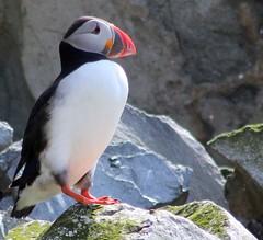 Puffin (gordontour) Tags: wildlife ailsacraig clyde coast sea scotland britain uk nature birds rspbreserve island puffins