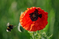 Poppy love (Wright_shot_UK) Tags: bee bees flight beeinflight flyinginsect flying flyingbee poppy poppies flower flowers wildlife wildlifephotography nature naturephotography red inflight bokeh bokehphotography bokehlicious