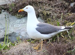 Gull (gordontour) Tags: wildlife ailsacraig clyde coast sea scotland britain uk nature birds rspbreserve island gull