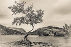 The Lonely Tree (joshdgeorge7) Tags: lyn padarn llanberi tree lake water wales welsh cymru landscape mountains valley spring infra red pentax ks2 walking island roots
