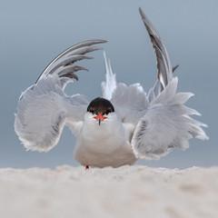 Common Tern (Kevin E Fox) Tags: commontern tern sternahirundo nassaucounty nickersonbeach lidobeach newyork ny sand ocean bird birdwatching birding birds birdphotography sigma150600sport sigma shorebird shorebirds nature nikond500 nikon