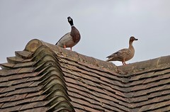 Ducks Above (Deepgreen2009) Tags: mallard duck drake roof tiles wildlife fowl birds house home pair