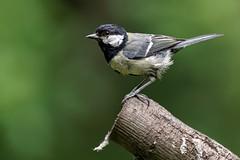 _IMG2430_DxO- on1 (douglasjarvis995) Tags: great tit bird wild wildlife animal nature pentax k1 150450