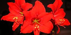 amaryllis2 (rons_studio) Tags: flower red amaryllis