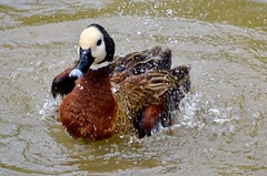 Bird Bath (rebeccadelaney45) Tags: wildfowl bird bathing water duck cleaning