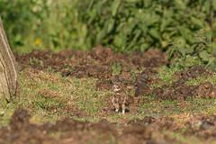 little owl 2019 (eric-d at gmx.net) Tags: littleowl athenenoctua steinkauz ngc