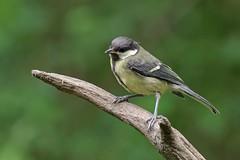_IMG2385_DxO- on1 (douglasjarvis995) Tags: bird great tit nature animal wild wildlife pentax k1 150450
