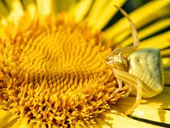 Thomisus onustus (Markus Hill) Tags: hainburgaddonau niederösterreich österreich thomisusonustus krabbenspinne crabspider spinne spider macro makro animal flower nature canon 2019 spring