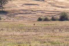 Thomson gazelle, Spotted hyena and warthog , Ngorongoro, Tanzania (Amdelsur) Tags: hyènetachetée tanzanie phacochèrecommun gazelledethomson continentsetpays caldeiradungorongoro afrique africa commonwarthog crocutacrocuta eudorcasthomsonii gazellathomsoni hienamanchada hienamoteada ngorongorocaldera phacochoerusafricanus spottedhyena tz tza tanzania thomsongazelle régiondarusha