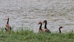 Black-bellied Whistling Ducks (jd.willson) Tags: jd willson jdwillson nature wildlife birds birding arkansas blackbellied whistling ducks