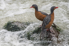 Torrent Ducks (antonsrkn) Tags: torrentduck merganettaarmata ornithology wildlife nature animal animals birdwatching birding river whitewater waterfowl ducks peru andes mountains montane
