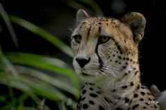 Cheetah (jt893x) Tags: 150600mm acinonyxjubatus cheetah d500 jt893x nikon nikond500 portrait sigma sigma150600mmf563dgoshsms thesunshinegroup coth alittlebeauty sunrays5 coth5