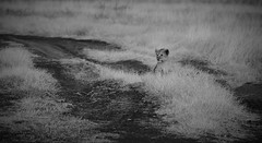 Little (wildcaty) Tags: lion safari africa tanzania ngorongoro lioncub blackandwhite bw wildlifeinblackandwhite ngorongorocrater africanwildlife nikon