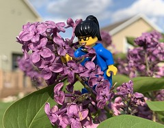 2019-153 - Sunday (Steve Schar) Tags: spring green purple flowers flower lilacs lilac minifigure lego iphonexs iphone project365 sunprairie wisconsin 2019