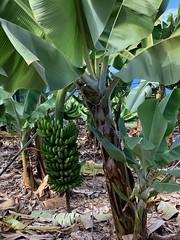 Bananenstaude auf Teneriffa (Sascha Klauer) Tags: banana bananaplant bananaplantation bananas banane bananen bananenpflanze bananenplantage bananenstaude greenbananas grünebananen iphonexs natur nature pflanzen plant spain spanien staude tenerife teneriffa teneriffabanane
