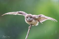 Rain Dance (Megan Lorenz) Tags: burrowingowl owl owlet bird avian birdofprey nature wildlife wild wildanimals rain wet raining outstretched florida mlorenz meganlorenz