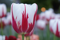 True Canadian tulip (jfingas) Tags: ottawa canada outdoor outdoors spring majors hill park nature flower flowers tulip tulips springtime red white