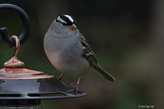1.29724 Bruant à couronne blanche / Zonotrichia leucophrys leucophrys / White-crowned Sparrow (Laval Roy off until 07/08/2019) Tags: mangeoires québec villedequébec cheznous aves birds oiseaux embérizidés passeriformes canon bruantàcouronneblanche zonotrichialeucophrysleucophrys whitecrownedsparrow lavalroy migrationprintanière saisonprintanière printemps