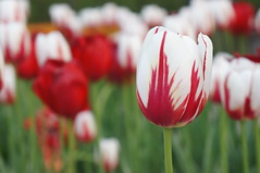 Sea of red and white (jfingas) Tags: ottawa canada outdoor outdoors spring majors hill park nature flower flowers tulip tulips springtime red white