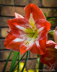 More lovely blooms! (Marcie Braden) Tags: amaryllis