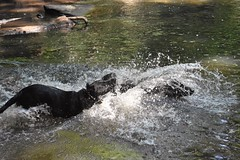 Water Dogs (phthaloblu) Tags: drago dozer dogs adventure water spray splash creek fork reedy moon preserve bold park passive county guilford mcleansville nc north carolina usa