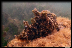Côte Blanche 02.06.2019 (CurLy98800) Tags: noumea cote blanche new caledonia nouvelle caledonie plongee pmt diving snorkeling underwater lagon sous marine photo aplysia dactylomela nudibranche
