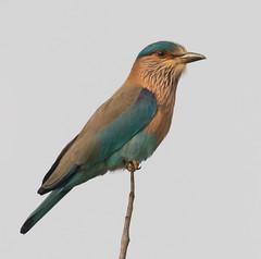 Indian Roller (Explored 6/4/19) (vischerferry) Tags: indianroller roller bird india bandhavgarh coraciasbenghalensis