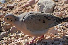 Mourning Dove (mama-bear) Tags: february 2019 lasvegas soloinvegas birding redrockcanyon