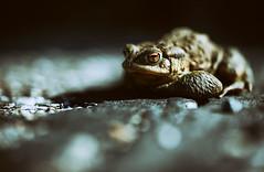 Der Nachbar meiner Eltern wollte mir die Kröte aus dem Bild nehmen, um sie zu seinem Teich zurückzutragen, so, als hätten wir uns den Sonnenplatz nicht ganz bewusst gesucht. (Manuela Salzinger) Tags: kröte tier frühling spring