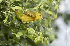 Yellow Warbler (karenmelody) Tags: usa bird birds animal animals texas southtexas vertebrate yellowwarbler vertebrates warblers passeriformes passerine passerines parulidae hidalgocounty setophagapetechia lagunasecaranch unitedstatesofamerica edinburg warbler perchingbirds