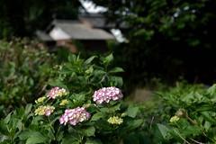 Hydrangea (odeleapple) Tags: nikon d810 carl zeiss planar 50mm hydrangea flower